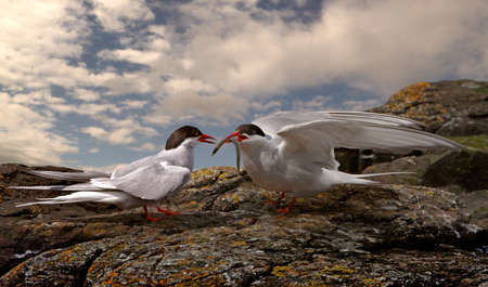 A male Arctic Tern arives with food for the female on the Farne Islands off the coast of Northumberland in England. Stock Photo - 9875862