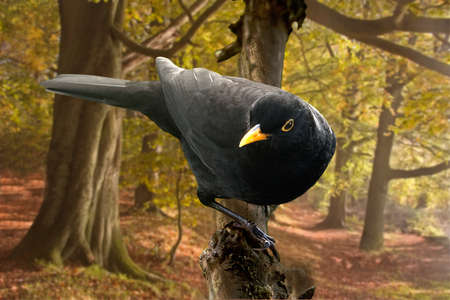 tuneful: A male Blackbird whose song is very tuneful and pleasing, often visits domestic gardens, and is seen here in woodland in Staffordshire, England.