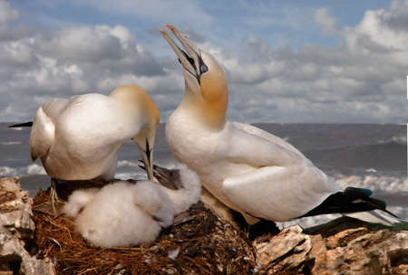 look after: A male and a female Northern Gannet look after their chick at Bempton Cliffs in Yorkshire, England. Stock Photo