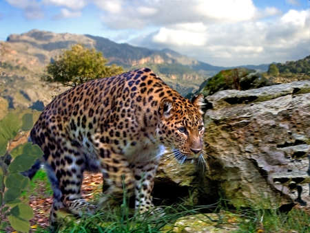 A hungry young male leopard stealthily searches for likely prey.