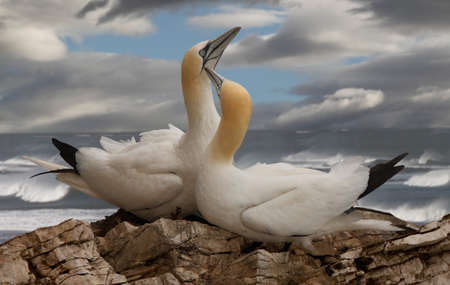 A male and a female Northern Gannet on Bempton Cliffs in Lincolnshire, England.