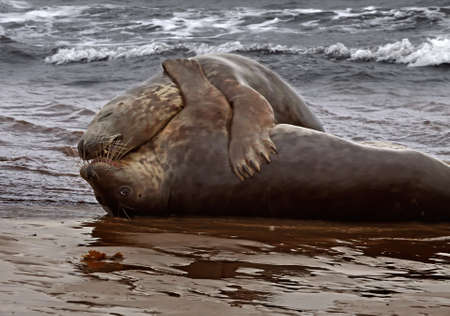 Atlantic Grey Seals at mating time in the sea at Donna Nook in Lincolnshire, England. Stock Photo - 10379877