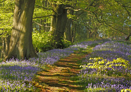A carpet of bluebells spreads through the woodland at Springtime in Staffordshire England. Stock Photo