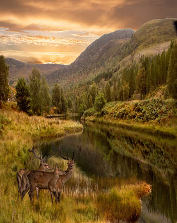 As the sun sets three red deer approach the water in the Highlands of Scotland.