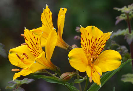 take it easy: The Alstroemeria is a Peruvian Lily and not an easy plant to grow as it can take up to three years before it is fully established. Stock Photo