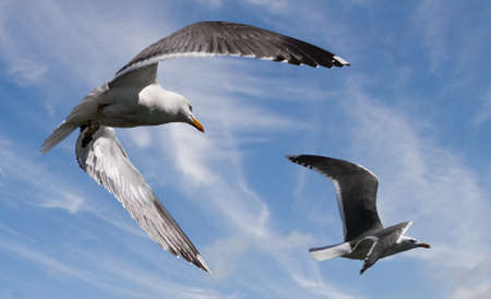 skomer island: The Great Black-backed Gull flying at Skomer island in South Wales, UK. Stock Photo