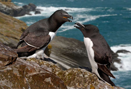 ashore: A male and a female Razorbill. They come ashore only during the breeding season. Stock Photo
