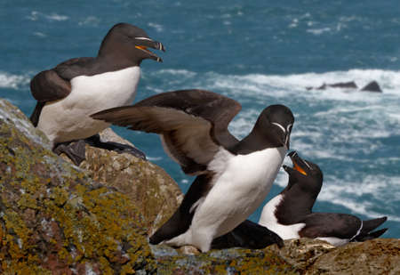 Razorbills on an island where they live during the mating season. Stock Photo