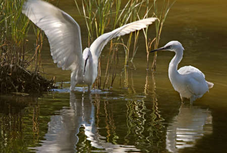 More common in Southern Europe, Little Egrets can now be found further North. These were photographed in Gwynedd North Wales, UK.