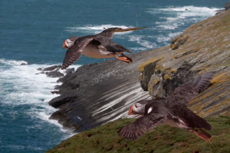 skomer island: Two Puffins during the mating season, flying above Skomer Island near the coast of Wales, UK. Stock Photo