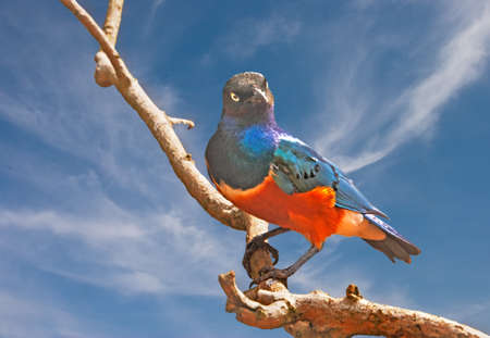 superb: The Superb Starling is a colourful bird from the continent of Africa.