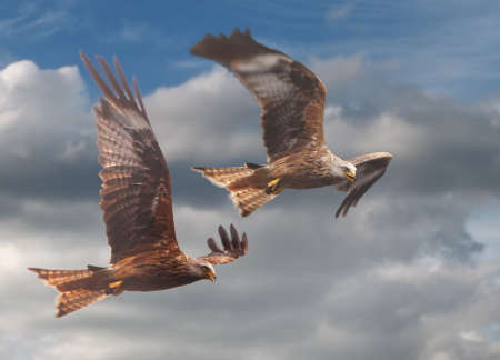 numerous: Red Kites have returned to the UK and are most numerous in Wales.
