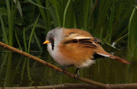 seeks: A young male Bearded Tit seen close to dense vegitation where it often seeks refuge.