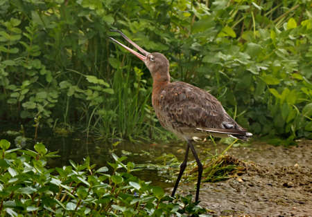 wader: The Black-tailed Godwit is a wader with long legs and bill. Stock Photo