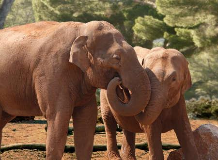 the offspring: Un elefante hembra asi�tica con sus hijos, que muestra un v�nculo de afecto.
