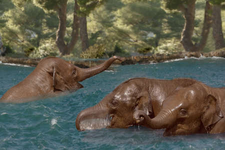 cool off: Young Asian Elephants cool off and play in the river.