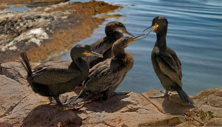 persuade: A male and female Shag trying to persuade their two juveniles to fly.