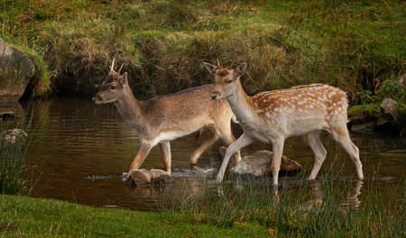 fallow deer: Two young male fallow deer crossing a stream. As depicted, there colouring can vary.