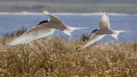 Two male Arctic Terns return with their catch for their young on the Farne Islands in Northumberland, England Stock Photo - 14959653