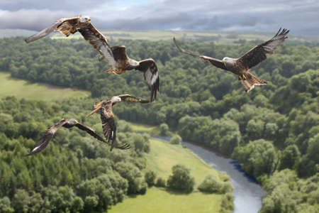 Red Kites circle above the valley looking for their prey. Stock Photo