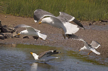 skomer island: A group of Lesser Black-backed Gulls descend to a pool on Skomer Island off the coast of Pembrokeshire, Wales, UK.