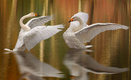 A pair of Whooper Swans give a performance like two ballet dancers on a stage.