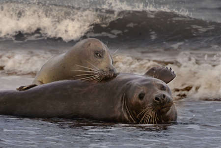 During the mating season the female Atlantic Grey Seals often encourage the males to mate. Stock Photo