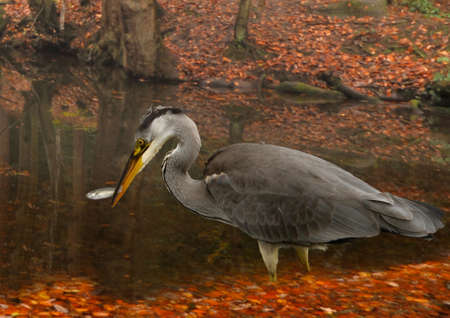 gray herons: A young Grey Heron has success with its fishing at a pool in Staffordshire England. Stock Photo
