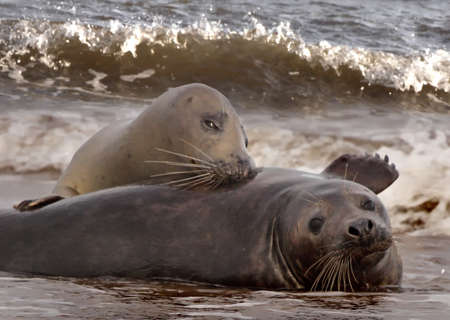 A male and a female Atlantic Grey Seal get together during the mating season at Donna Nook in Lincolnshire, England