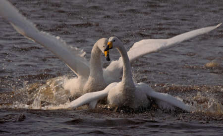 get together: A male and a female Whooper Swan get together at mating time  Stock Photo