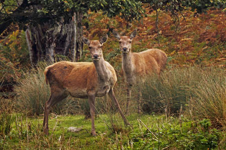 Two young Red Deer in the forrest at Bradgate Park in Leicestershire, England