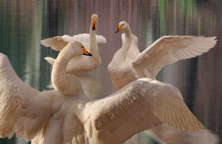 worthy: Three Whooper Swans perform elegantly, giving a display worthy of any stage  Stock Photo