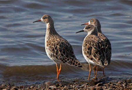 mere: Three female Ruffs at the edge of a lake at Martin Mere in Lancashire, England