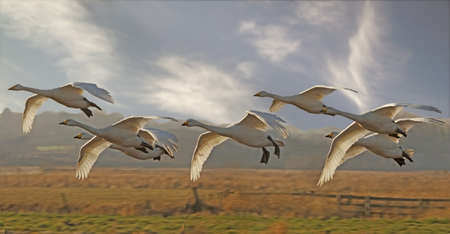 Whooper Swans arrive for the winter stay at Martin Mere in Lancashire, England after their flight from Iceland