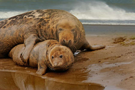 nook: A large Atlantic Grey Seal with a smaller female at mating time on the beach at Donna Nook in Lincolnshire, England. Stock Photo