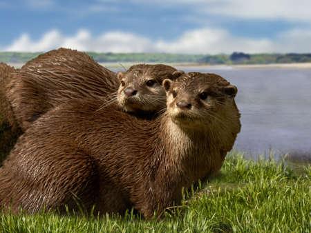 sociable: Gli asiatici breve clawed lontre sono il pi� piccolo della famiglia Otter. Sono animali molto socievoli, che vivono in gruppi di quindici o venti. Archivio Fotografico