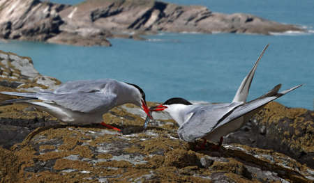 A male Arctic Tern passes his catch to a female, on the Farne Islands in Northumberland, England. Stock Photo - 16711895
