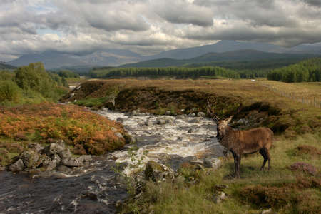 A Red Deer stag pauses by the river in Glen Roy in the Scottish Highlands