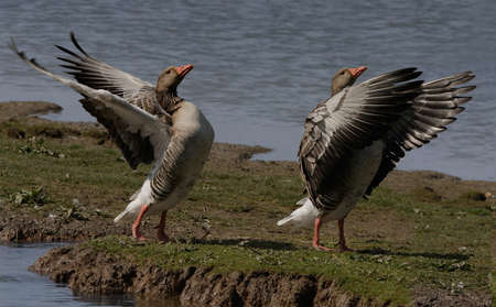 greylag: Two Greylag Geese exercising their wings, at a nature reserve in North Norfolk, England