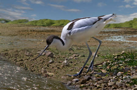 estuary: An Avocet searches for food at low tide in the estuary  Stock Photo