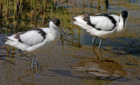 waders: Dos Avocets en busca de alimento en aguas poco profundas en una reserva natural en el norte de Norfolk, Inglaterra