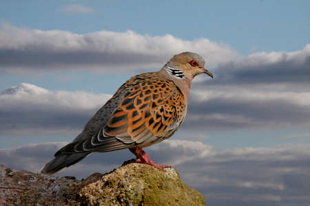 Turtle Doves can be found in Southern and Central Europe. Two Turtle Doves feature in the song 'The Twelve Days of Christmas'. Standard-Bild