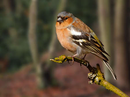This is a male Chaffinch. The Chaffinch can be seen throughout Europe and likes to nest in woodland.