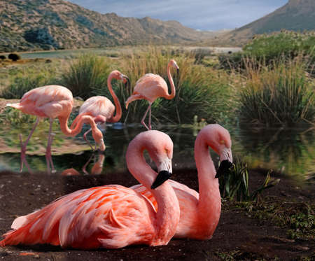 Flamingos congregate in shallow areas of lakes in tropical and sub tropical areas.