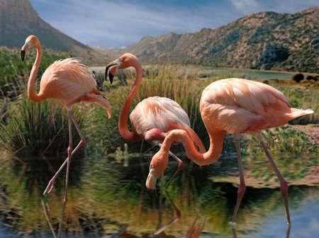 waders: Flamencos viven en grandes colonias en lugares principalmente tropicales y subtropicales.