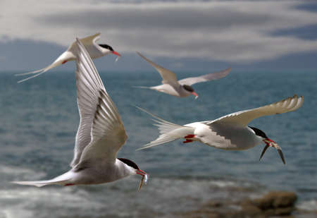 Arctic Terns returning to their mates with food for their chicks. Stock Photo - 17023954