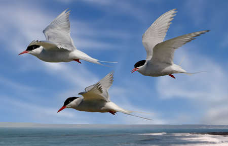 Whilst their mates incubate their eggs, these Arctic Terns head out to sea in search of food. Stock Photo - 17023952