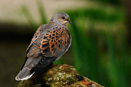 turtle dove: The Turtle Dove in Southern and Central Europe.