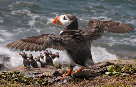 A Puffin about to take off and search for a catch on the Farne Islands in Northumberland, England.