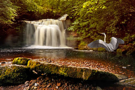 dales: A heron visits the waterfall at West Burton in the Yorkshire Dales, England.